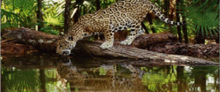«Леопард на водопое»