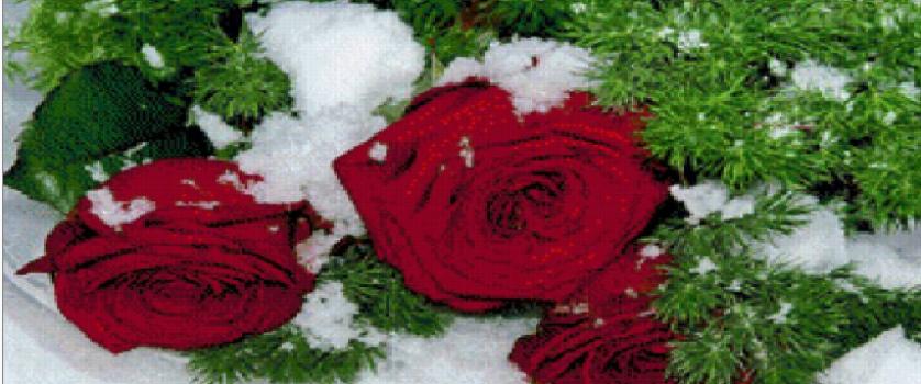 «Розы на снегу»